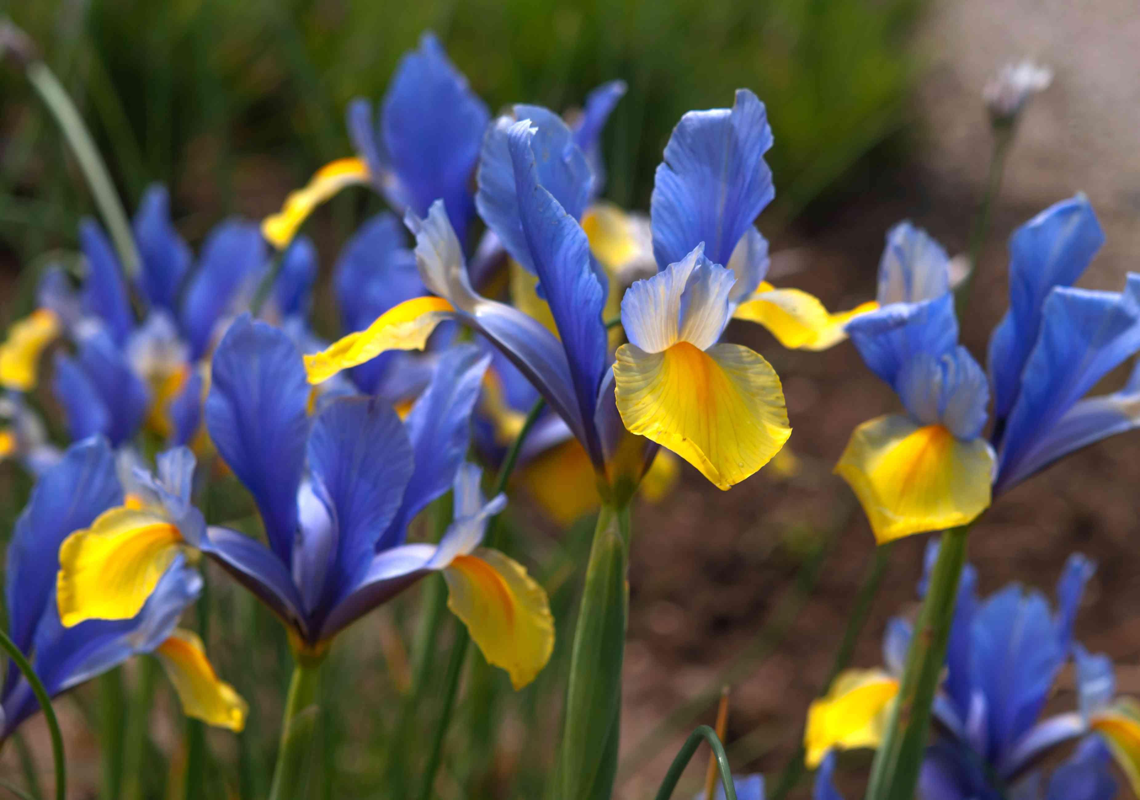 Dutch iris romano with blue and yellow flowers