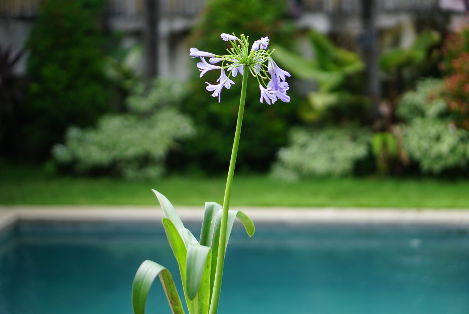 African lily by a pool