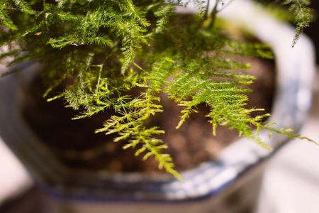 How To Grow Asparagus Ferns Indoors