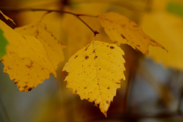 Leaves (fall foliage) of river birch tree