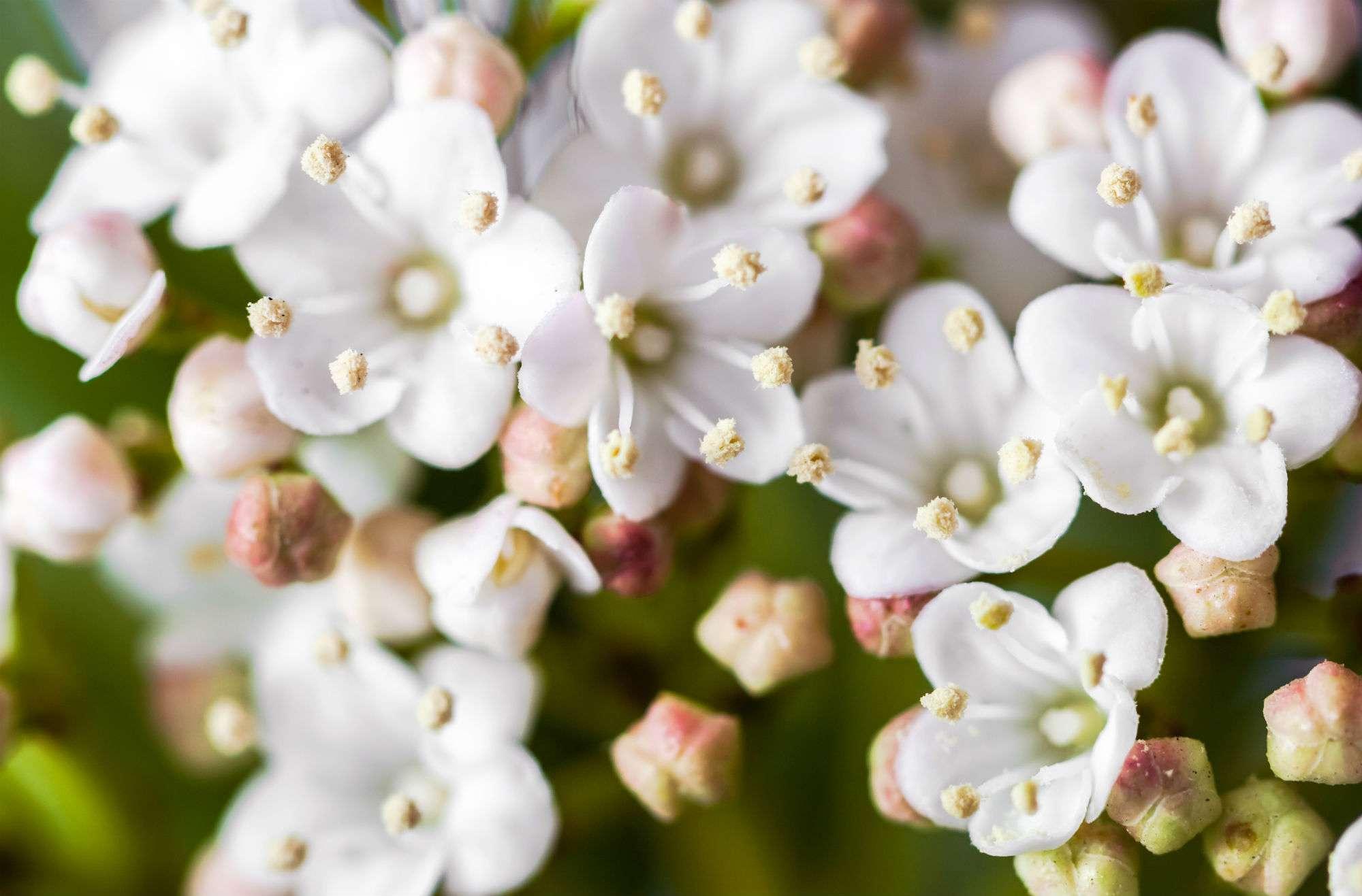 Filler flowers for wedding bouquets wax flowers white geralton wax shrub izmirmasajfo