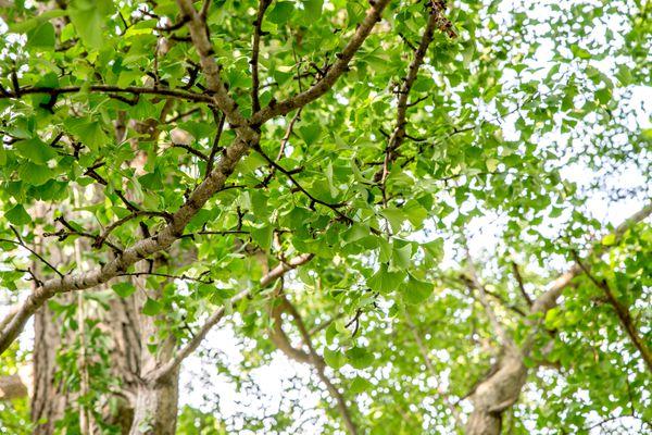 gingko biloba tree