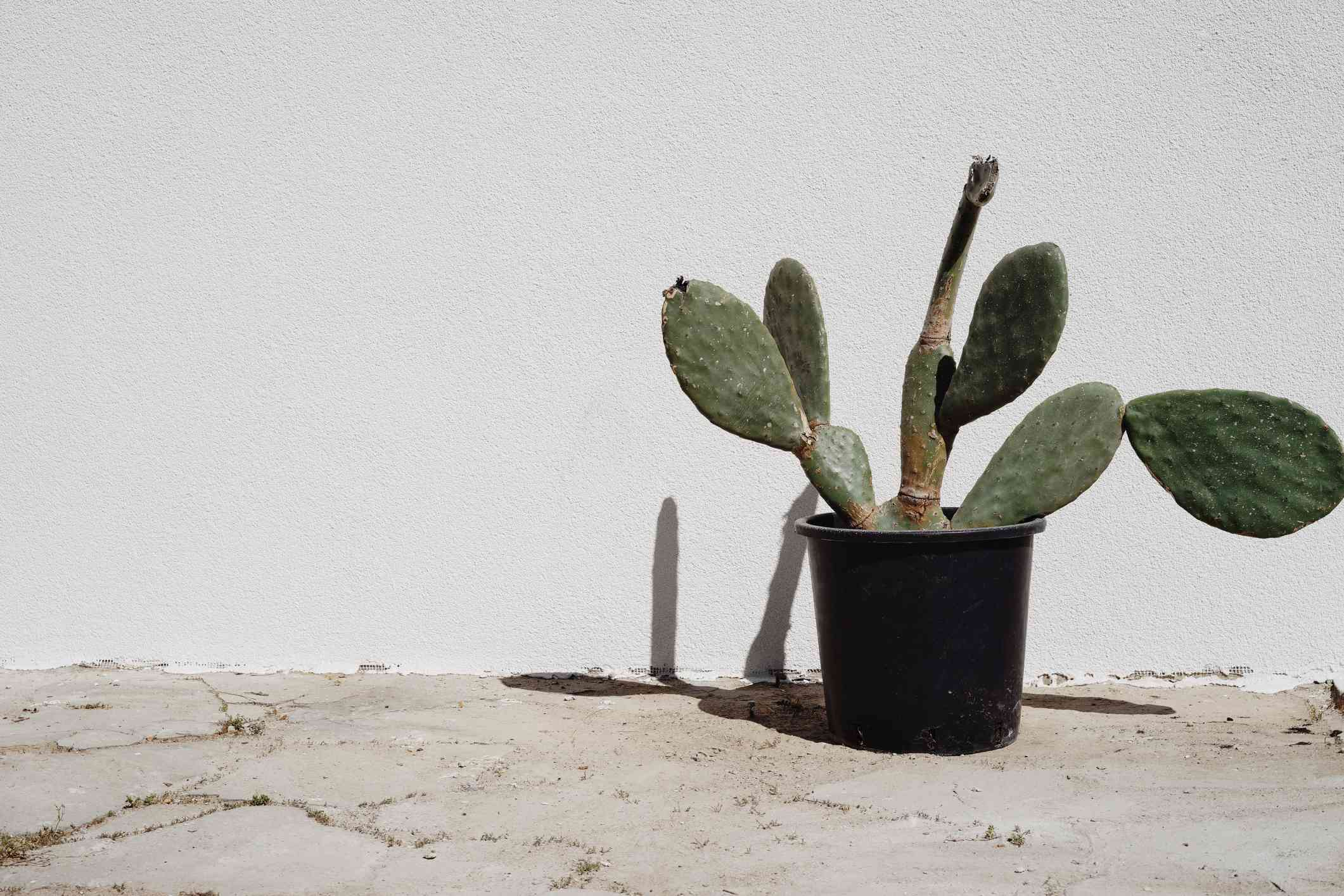 Large prickly pear cactus sitting against a white wall in a black pot.