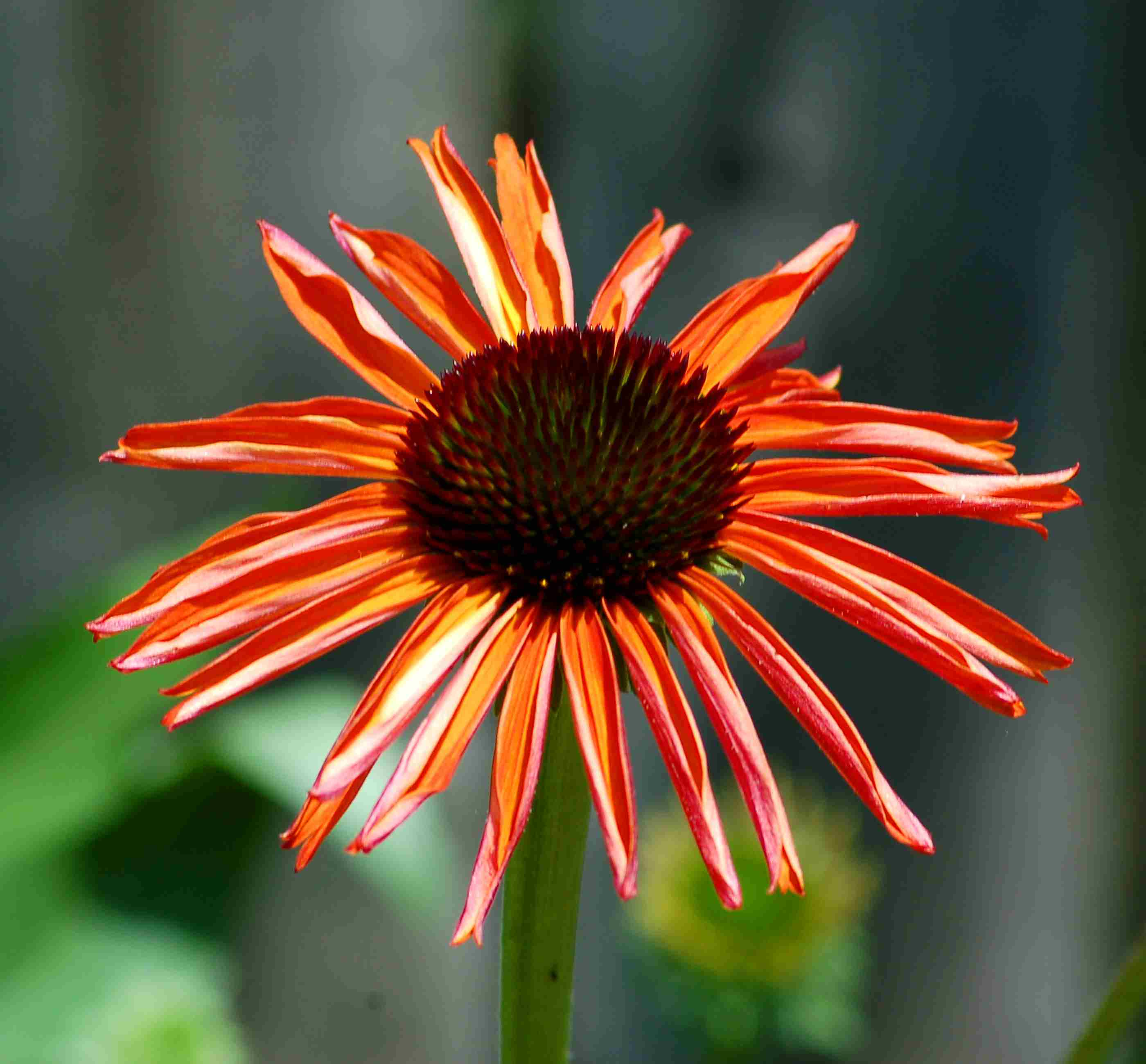 'Firebird,' which is an orange-flowered coneflower, is in bloom