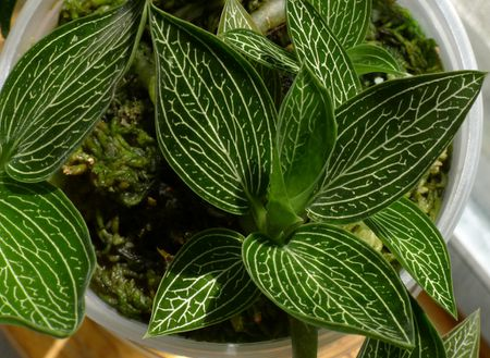 How To Grow Ludisia Orchids