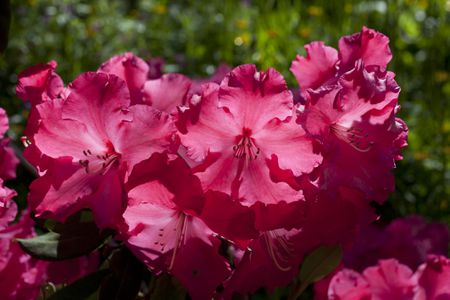 Closeup Of Pink Flowers Rhododendron Red Walloper