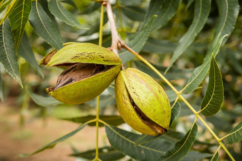 Ripe pecans opening on the tree