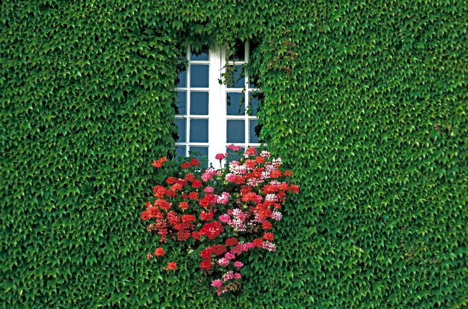 A wall covered with English ivy, with a window with a window box filled with flowers.