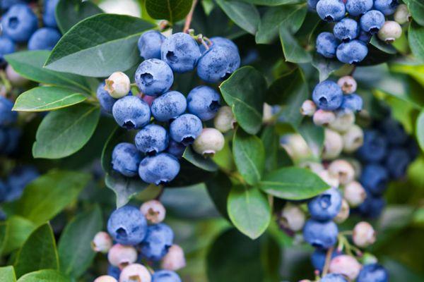 blueberries growing in bunchs
