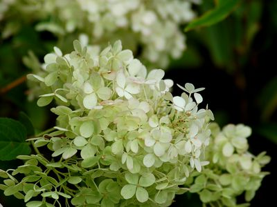 Incrediball Hydrangea Plant: Care and Growing Guide