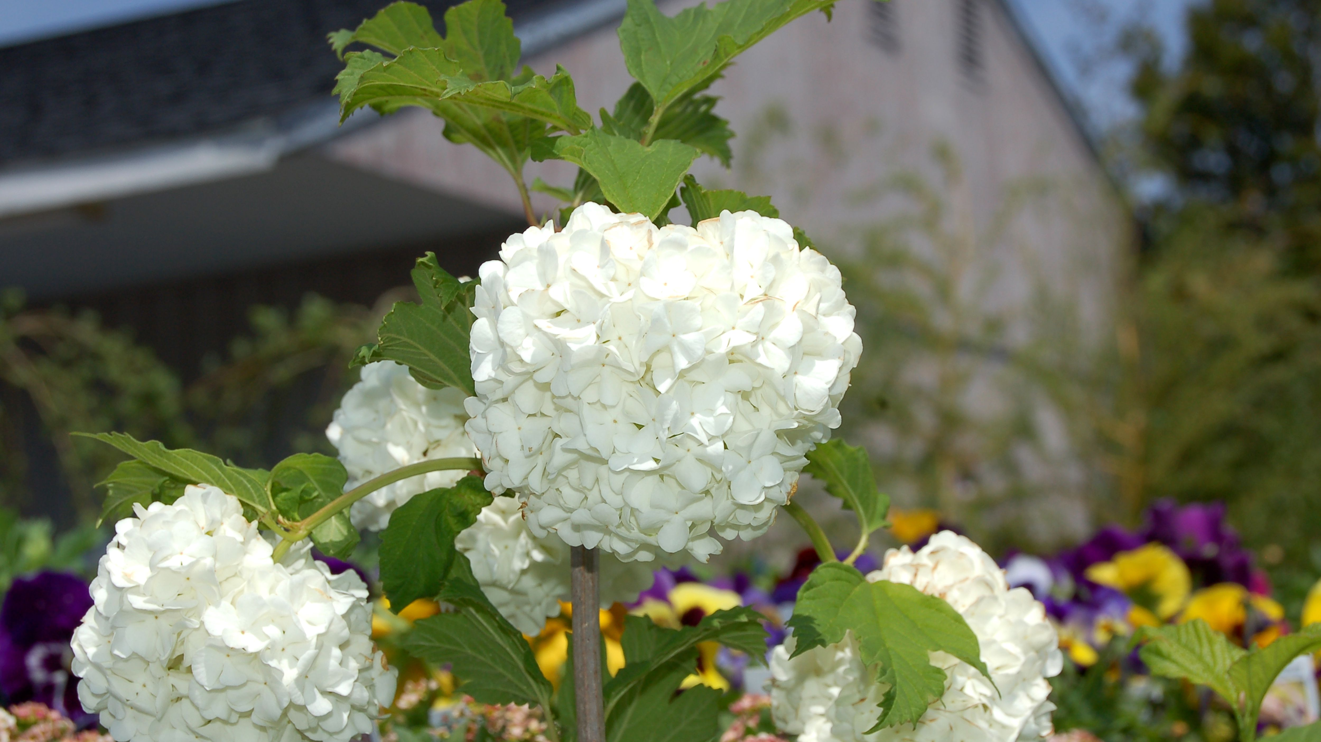 Grow And Care For Snowball Bush Viburnum