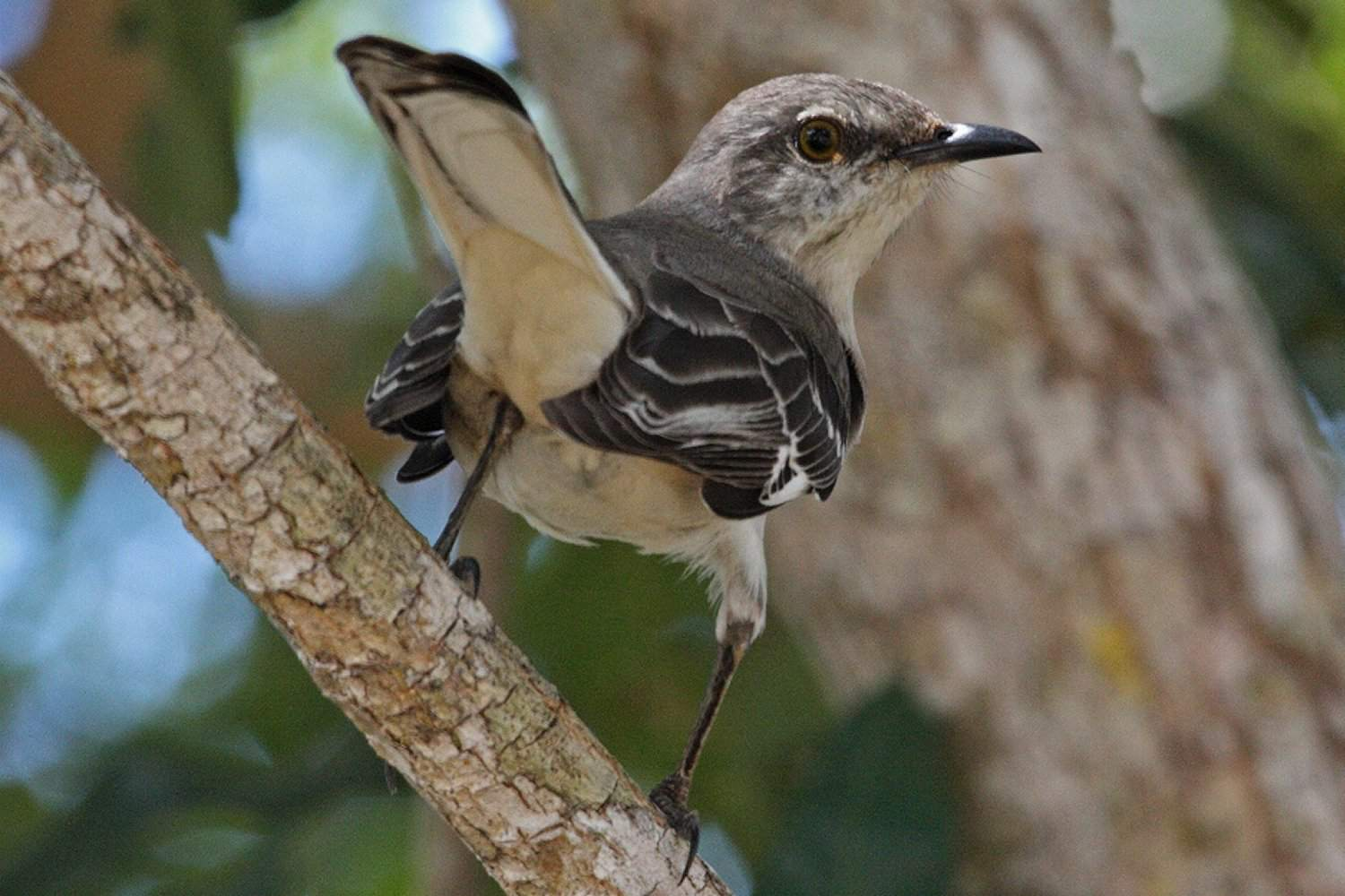 Northern Mockingbird, the state bird of Florida, facing away from the camera while on a tree branch.