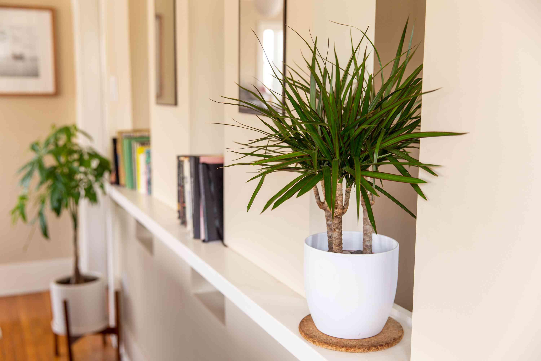 dracaena houseplant