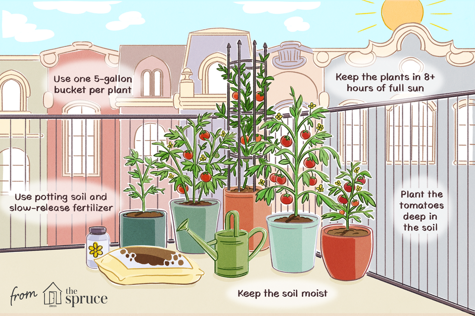 growing tomatoes in containers illustration