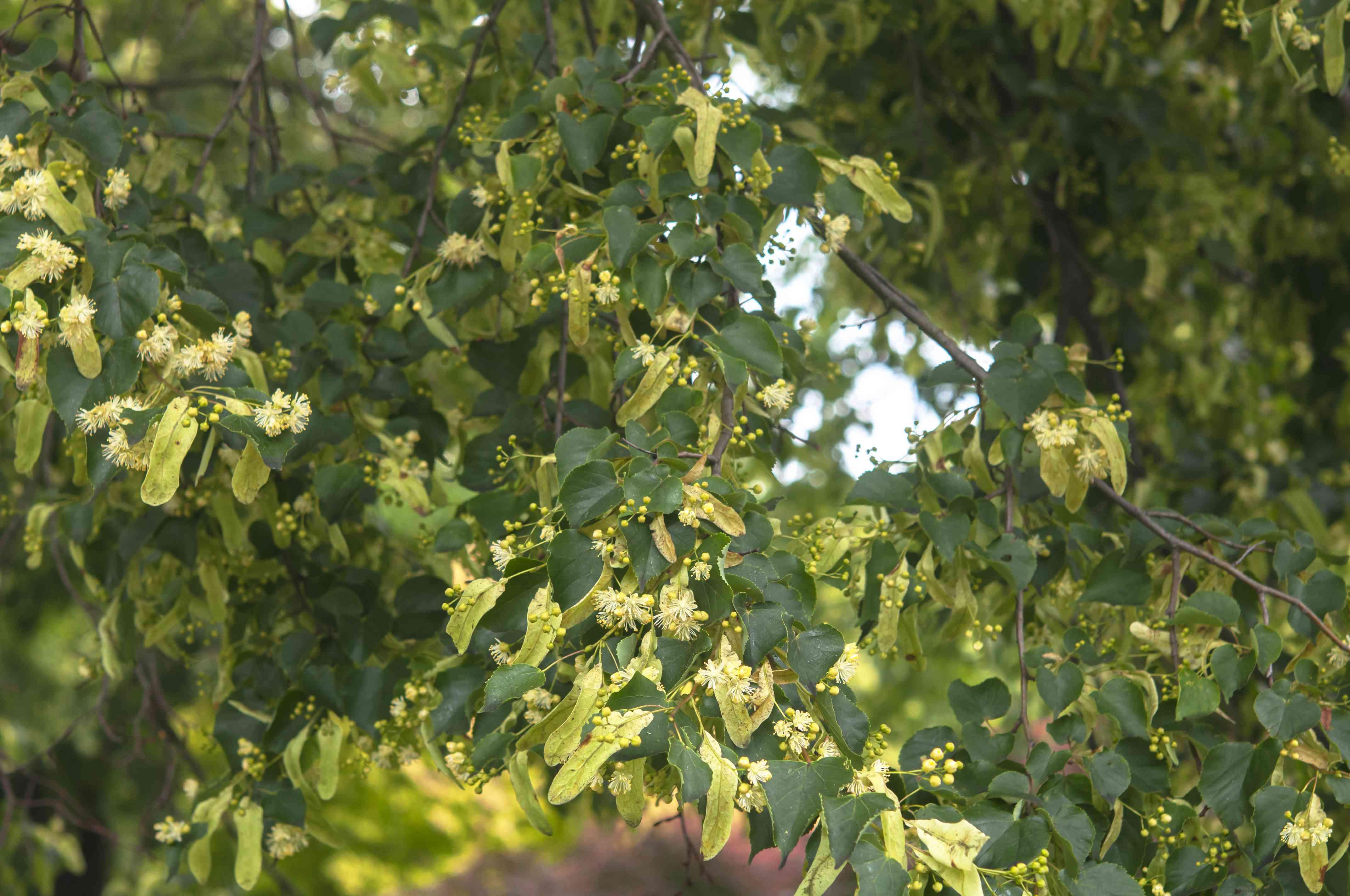 little leaf linden tree
