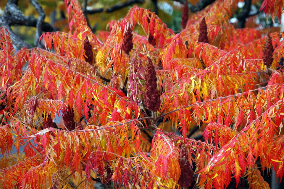 Fall foliage image of staghorn sumac (Rhus typhina).