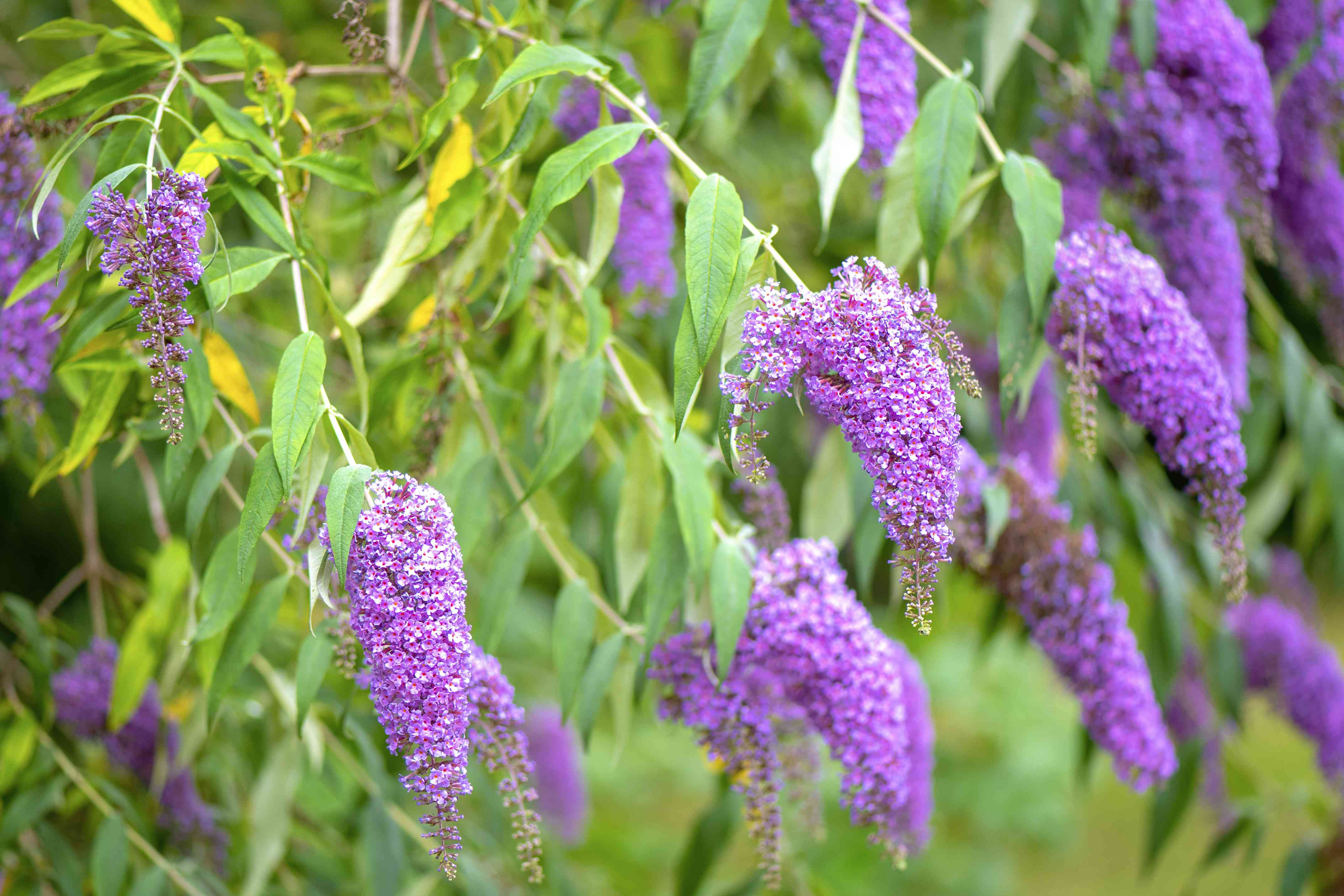 Close-up image of the beautiful summer flowering Buddleja, or Buddleia, commonly known as the butterfly bush purple flowers
