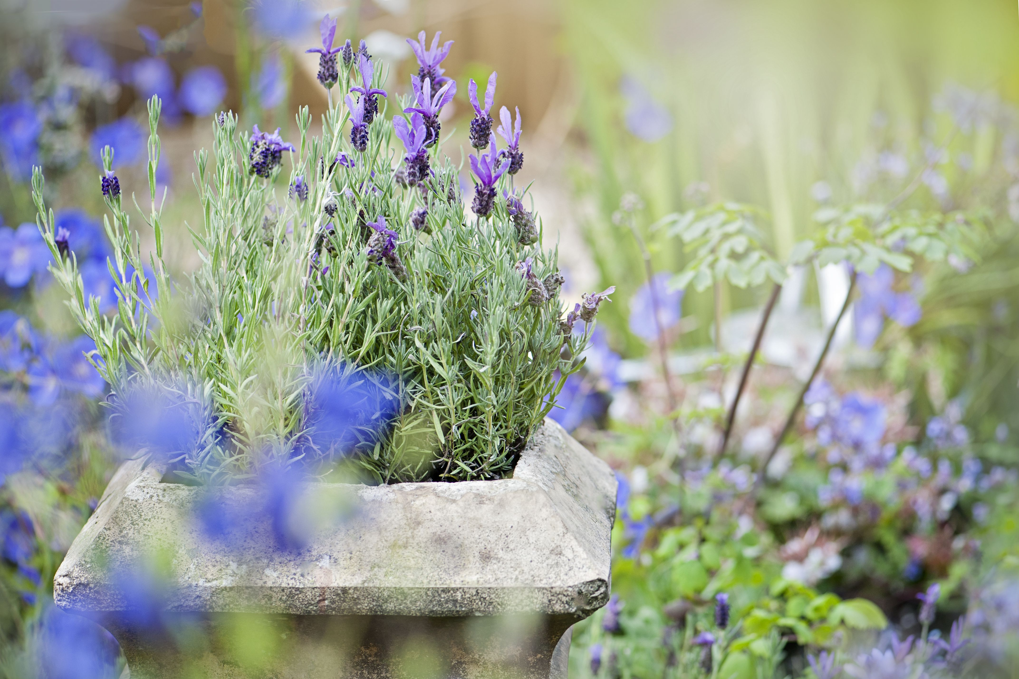 Close-up image of a stone garden planter or container with scented lavender flowers in the summer sunshine