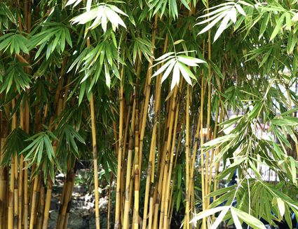 Golden bamboo plant with golden yellow-green tortoiseshell pattern and green branches