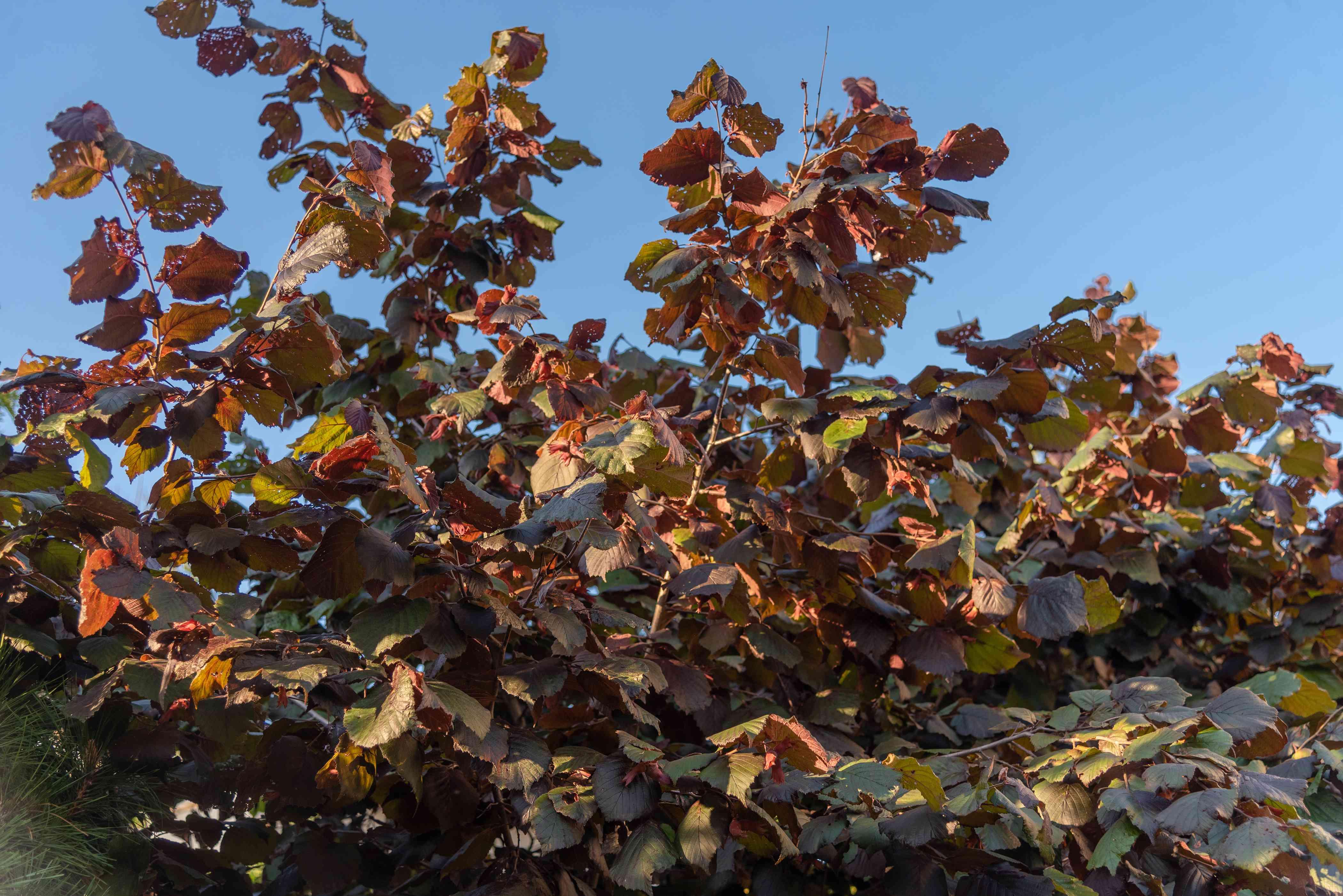 Beaked hazelnut shrub branches with reddish-green leaves against blue sky