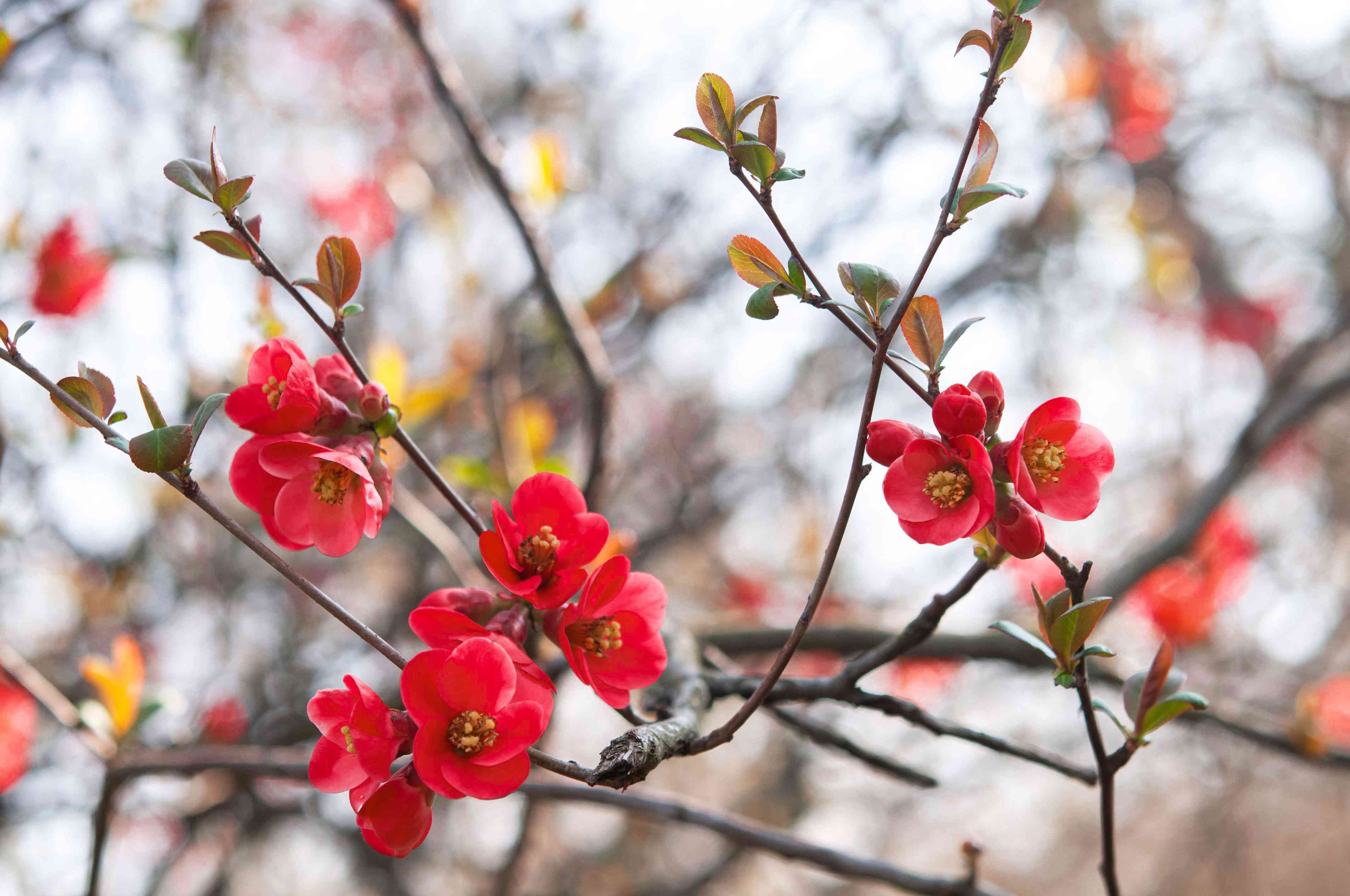 Flowering quince shrub with small rounded flowers with yellow centers on nearly bare branches