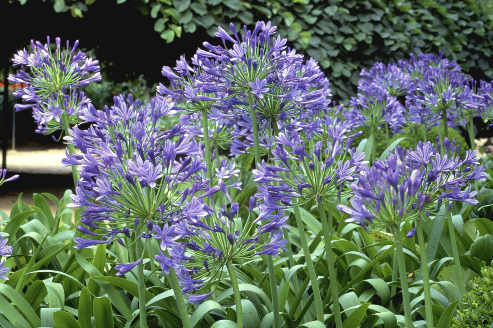 10 Best Summer Blooming Bulbs