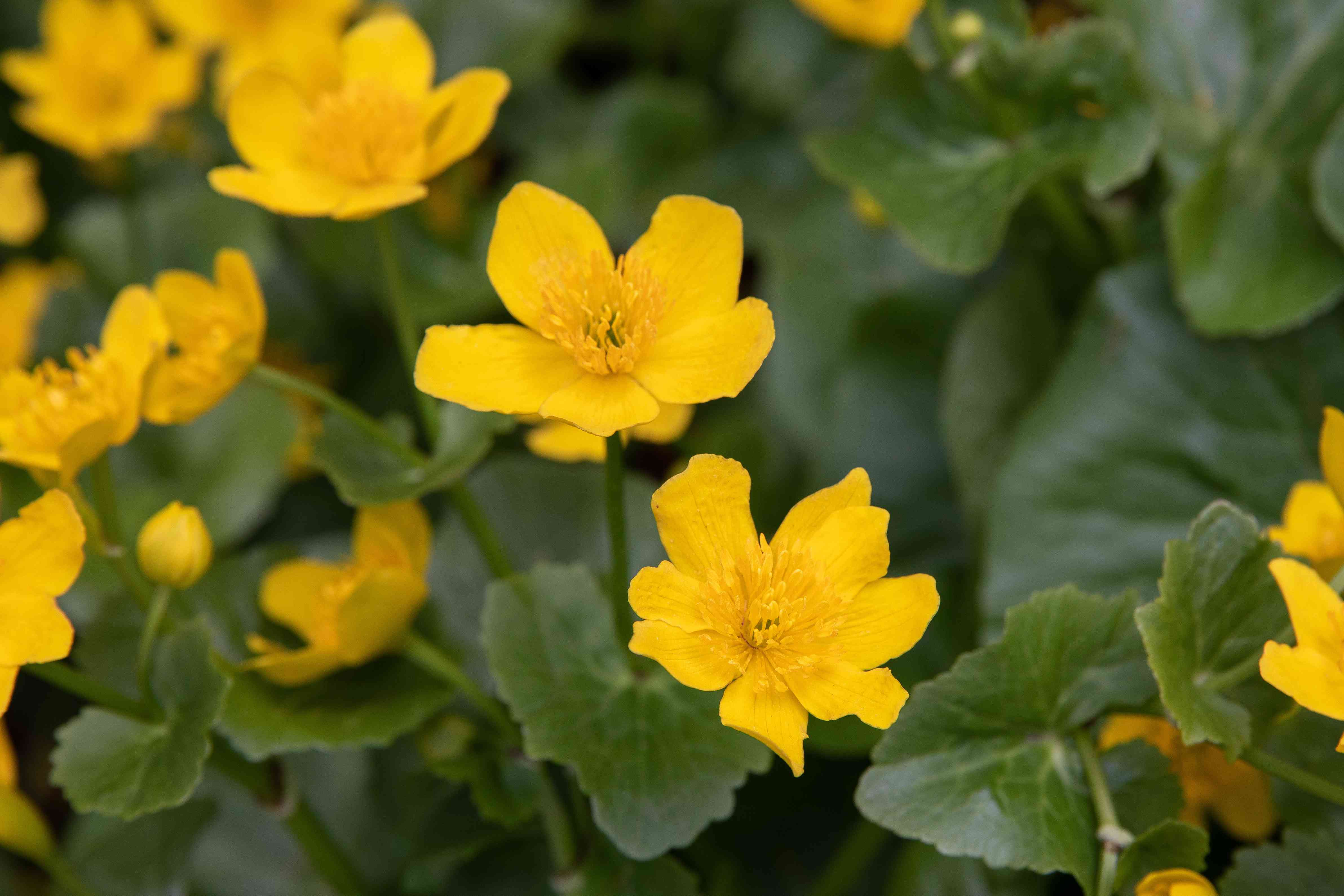 Marsh marigold with yellow sepals mixed with leaves closeup