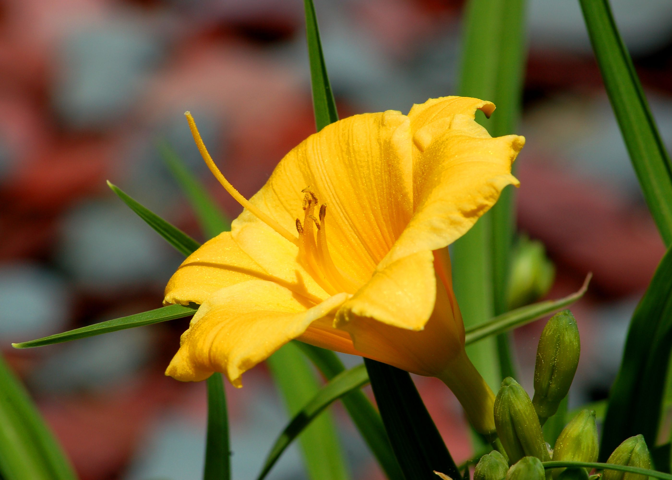 Stella De Oro Daylily Description Gardening Tips