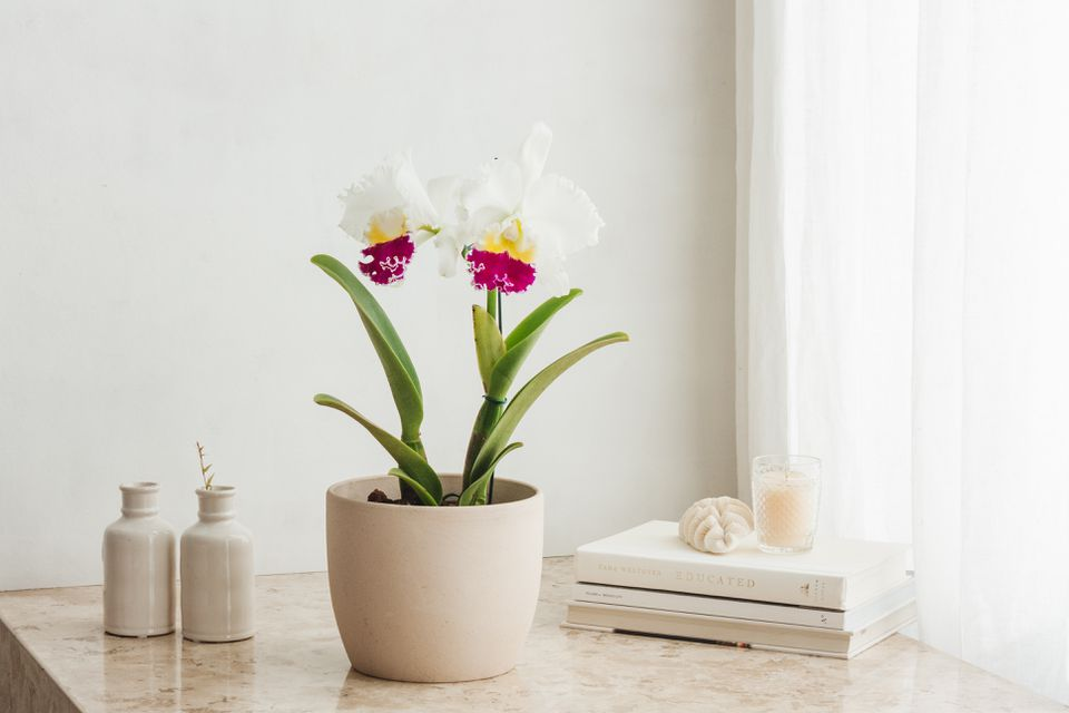 potted cattleya orchids