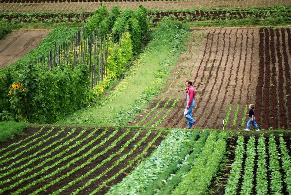 Fields of lettuce on a small farm