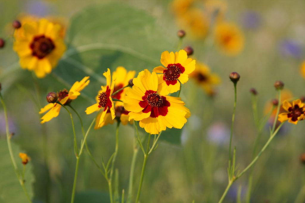 13 plants with daisy like flowers coreopsis mightylinksfo