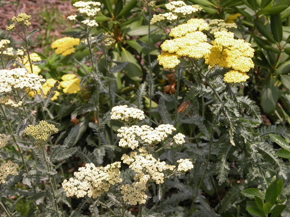 Achillea (Yarrow) 'Moonshine' and 'Coronation Gold'