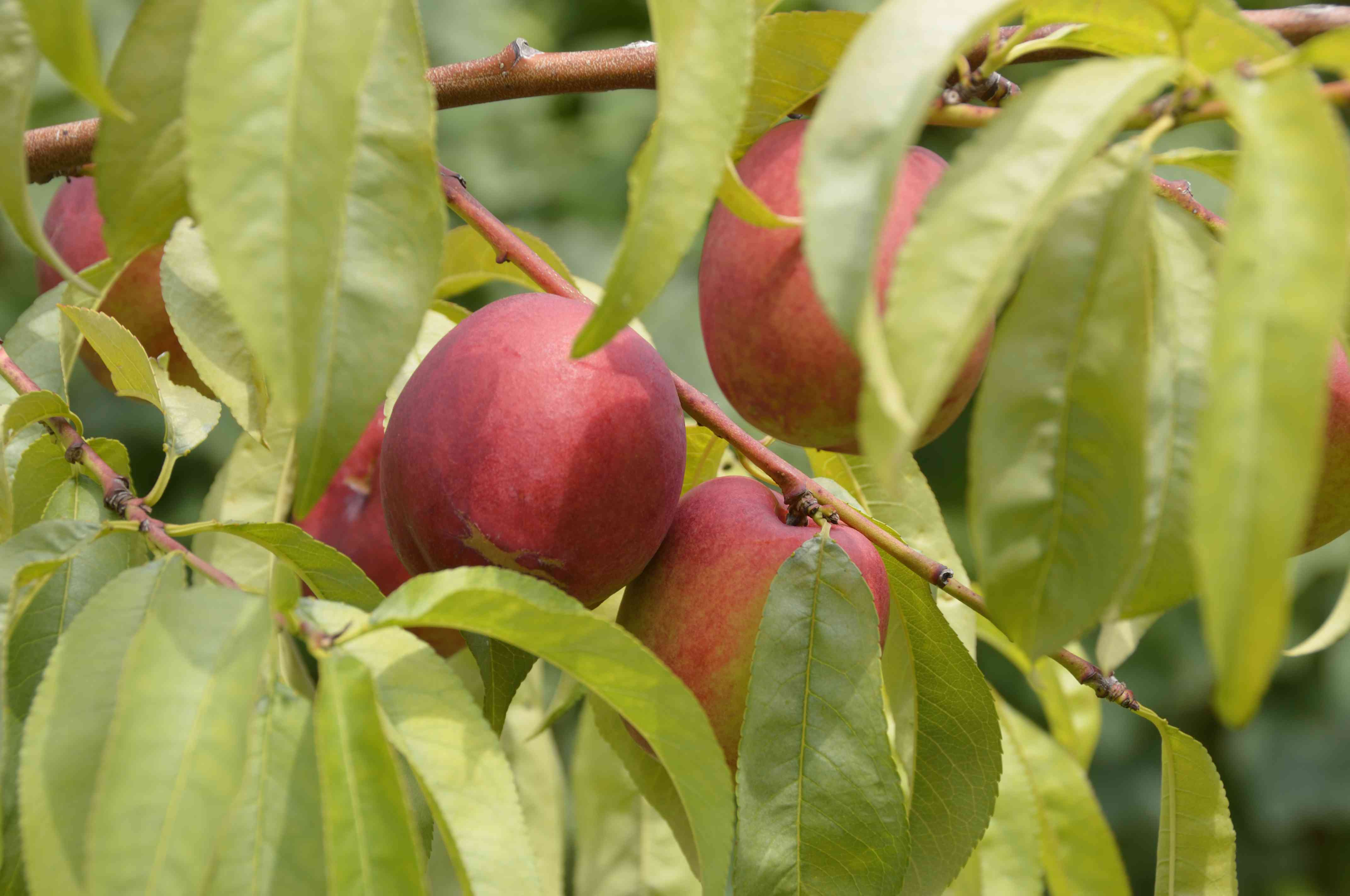 Close up of Nectarine fruits growing on tree branch
