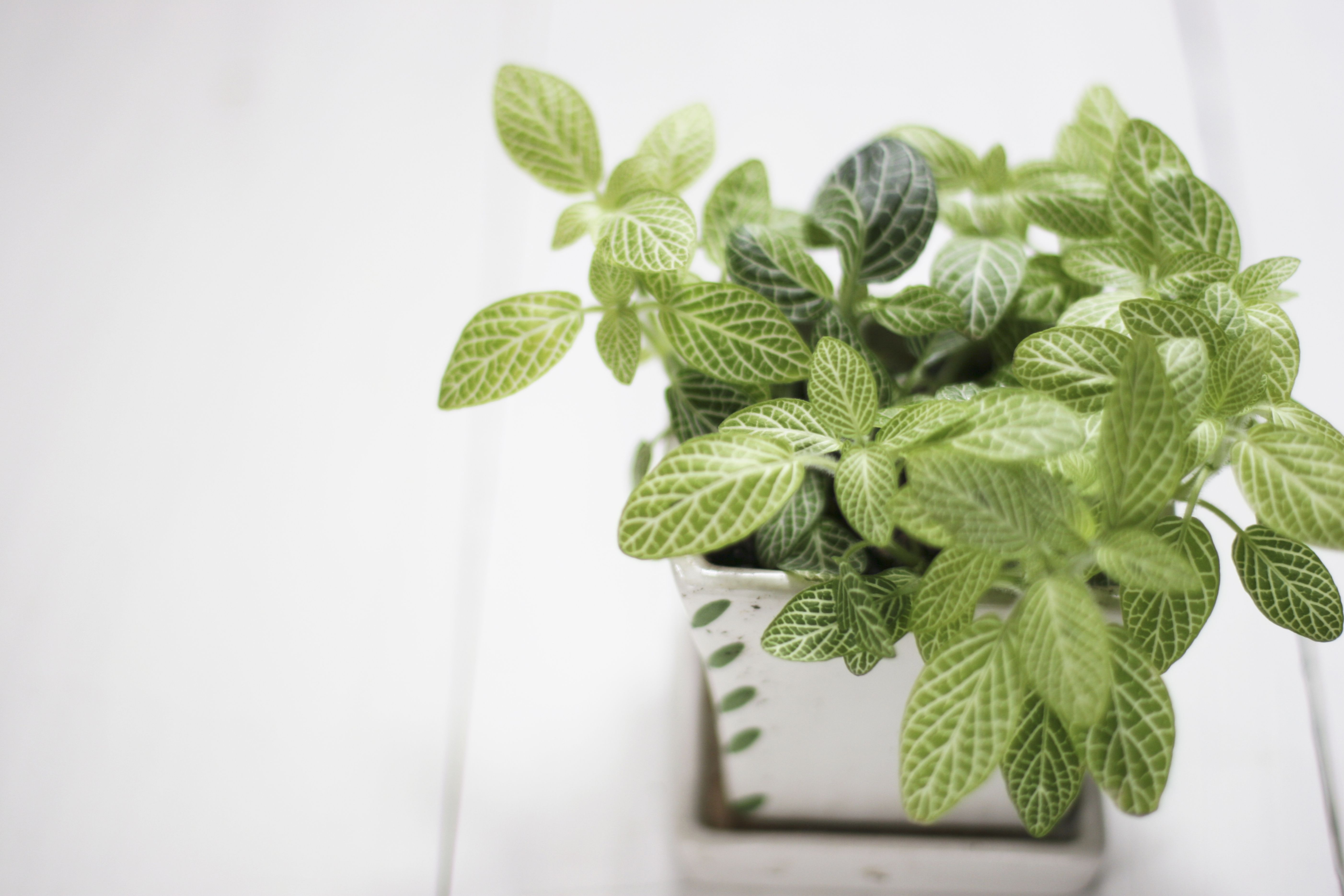 How To Grow Nerve Plant Fittonia