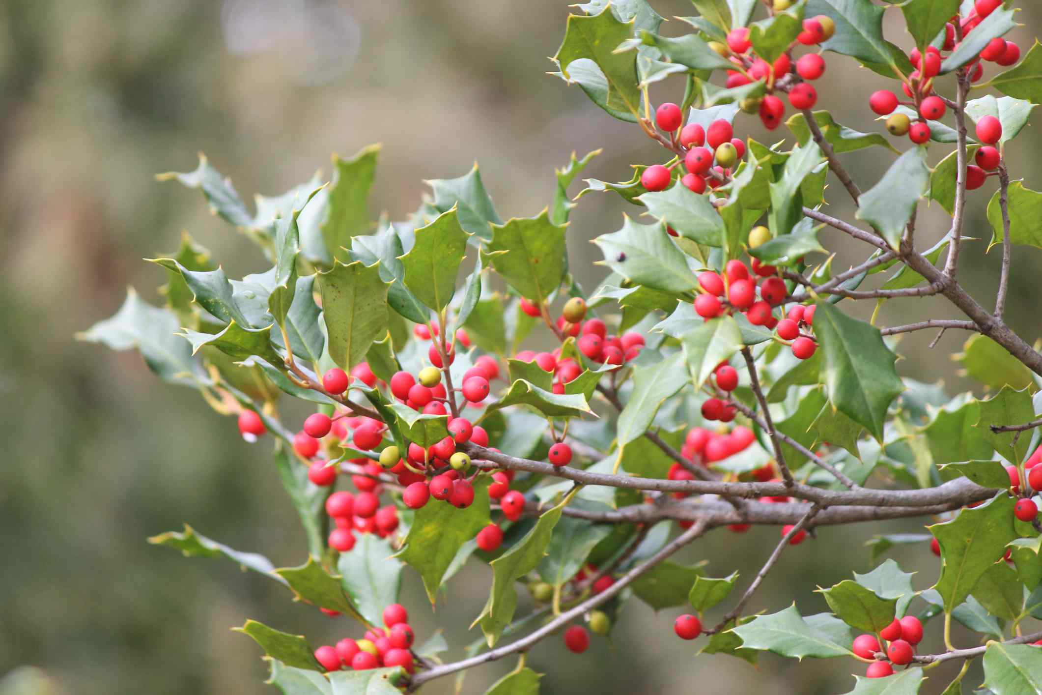 Branches and berries on an American Holly Tree.