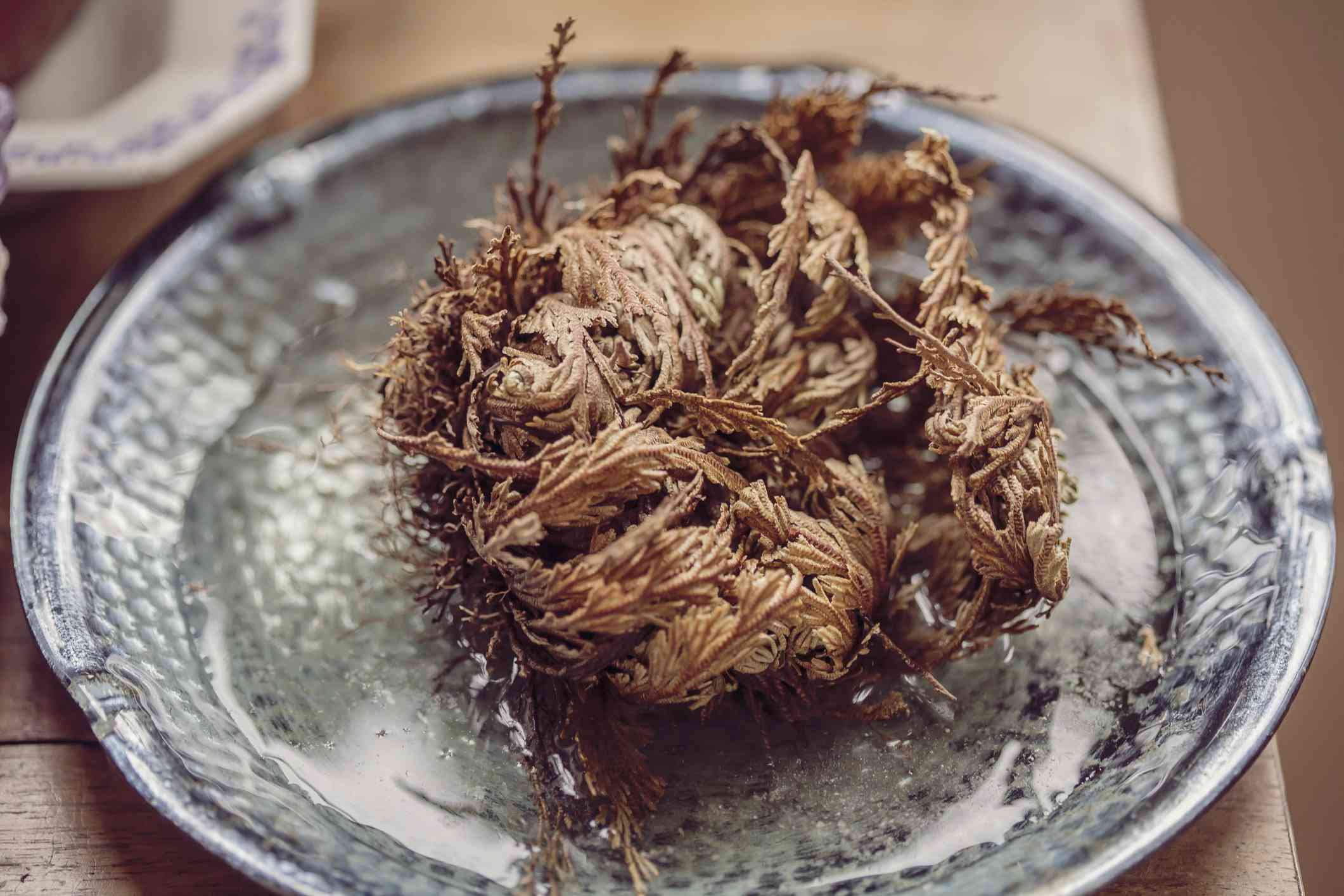 Selaginella lepidophylla (resurrection plant, rose of Jericho, false rose of Jericho) dried in a bowl of water getting ready to rehydrate.