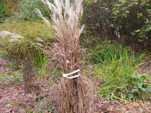 How To Cut Back Ornamental Grasses In Spring Or Fall