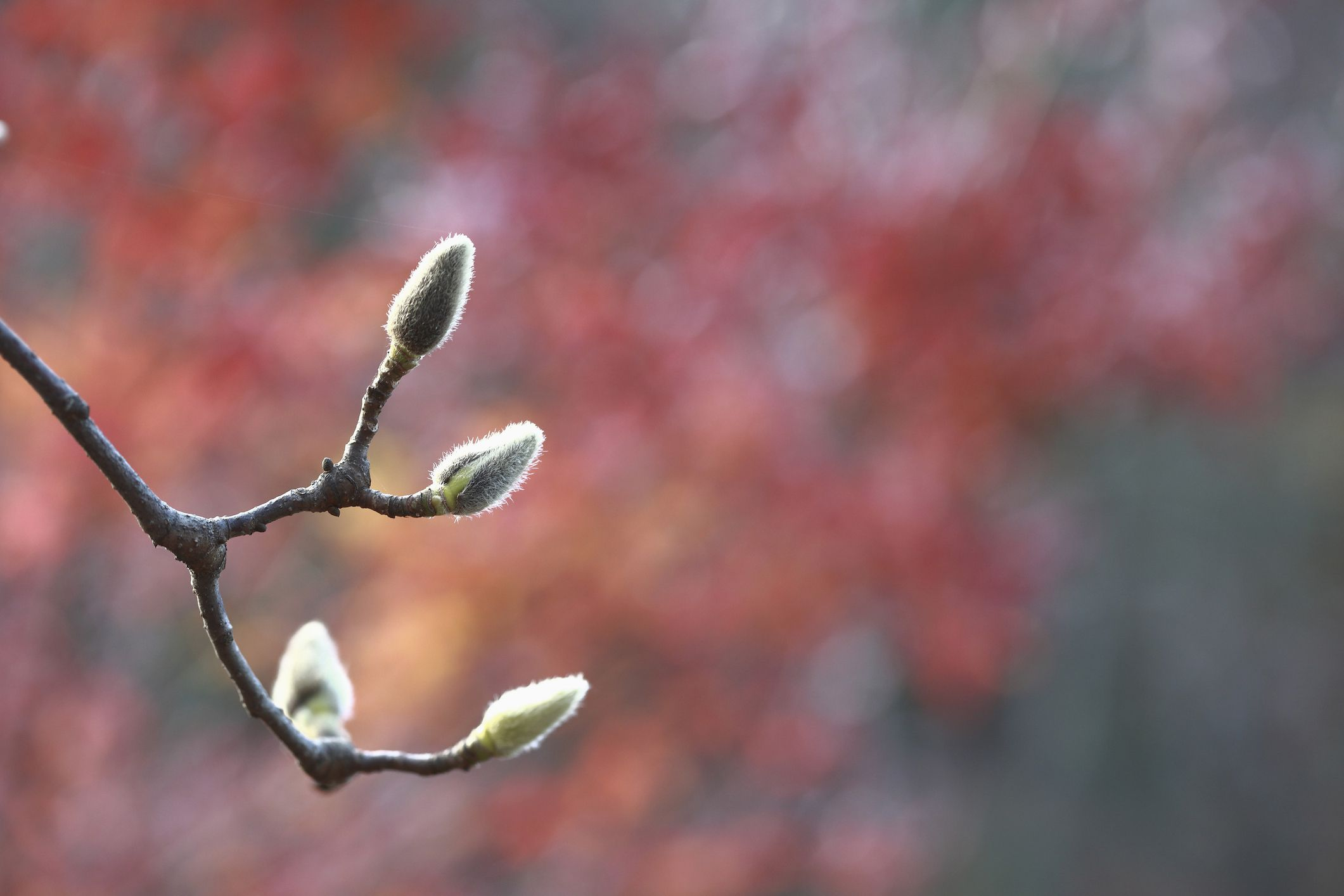 Why Magnolia Buds Don T Open