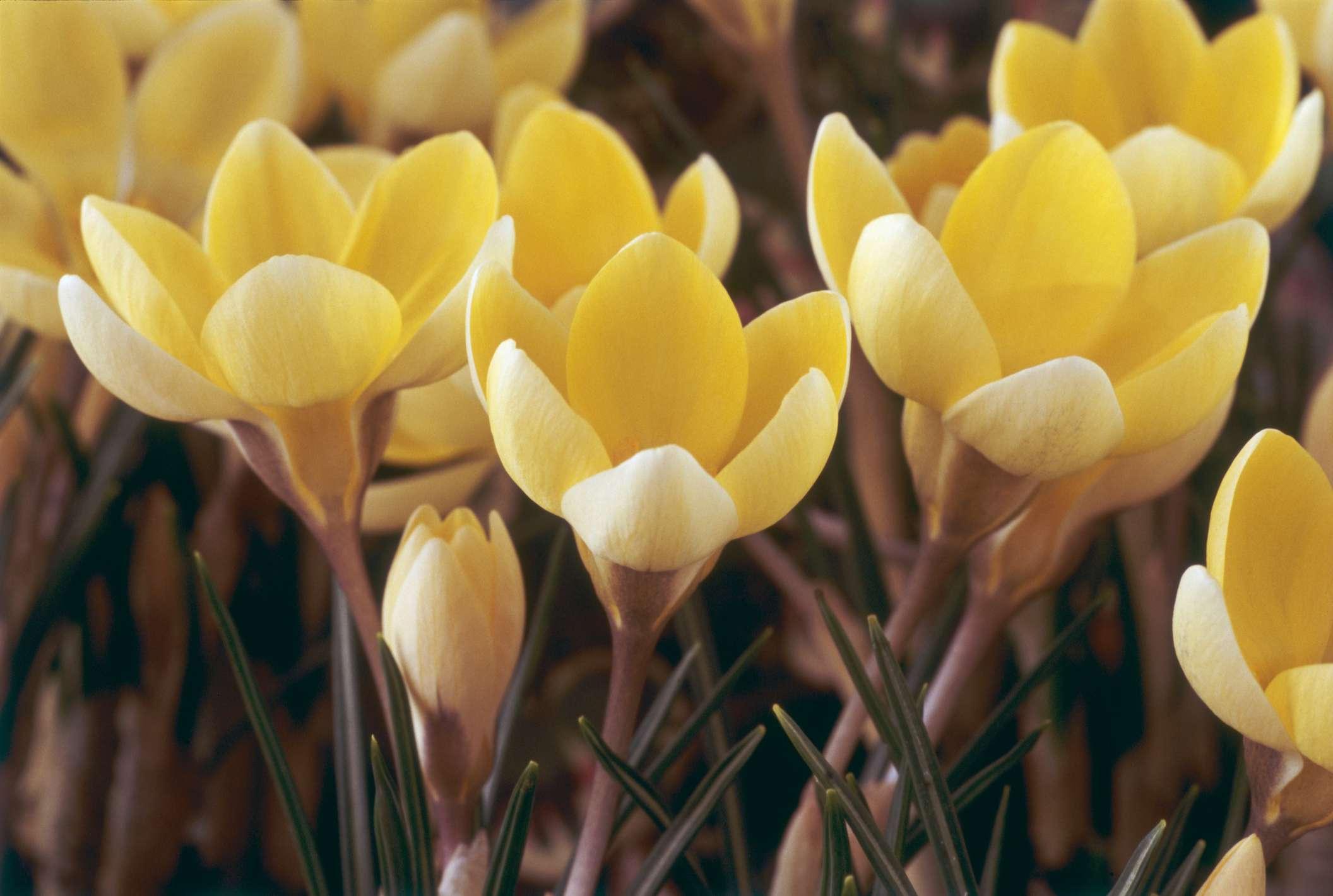 'Romance' crocus with yellow petals