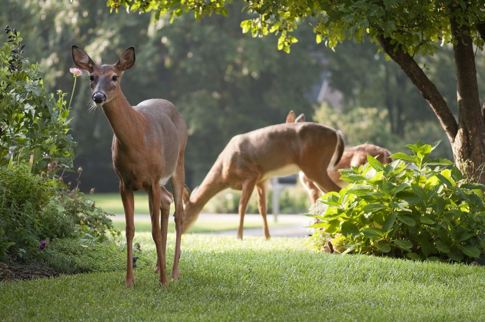 Deer grazing in front yard