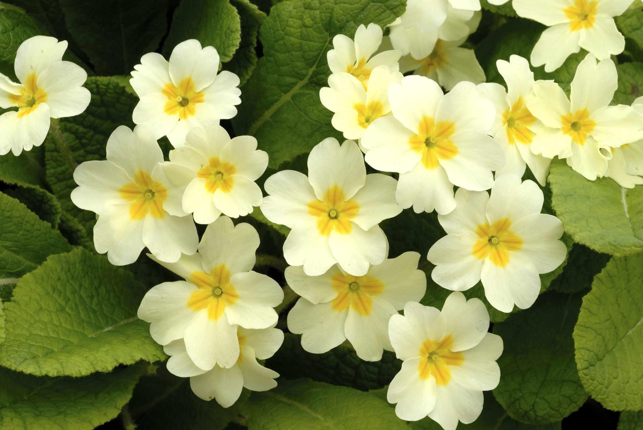 Primrose (Primula vulgaris)