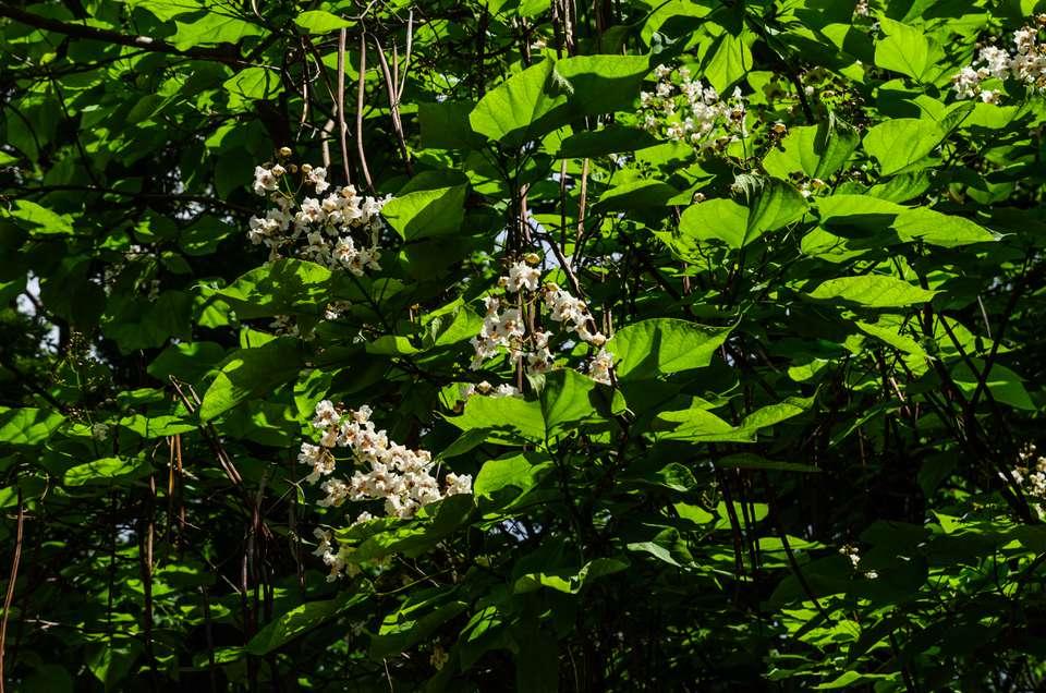 Flowers of Catalpa Tree