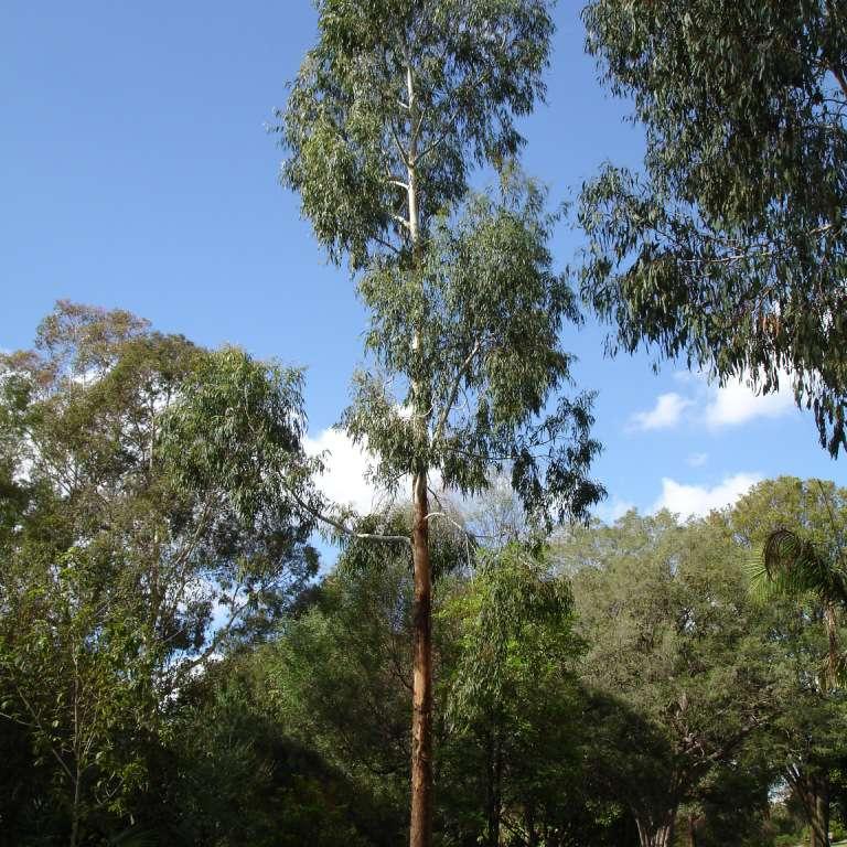 Árbol de goma de maná
