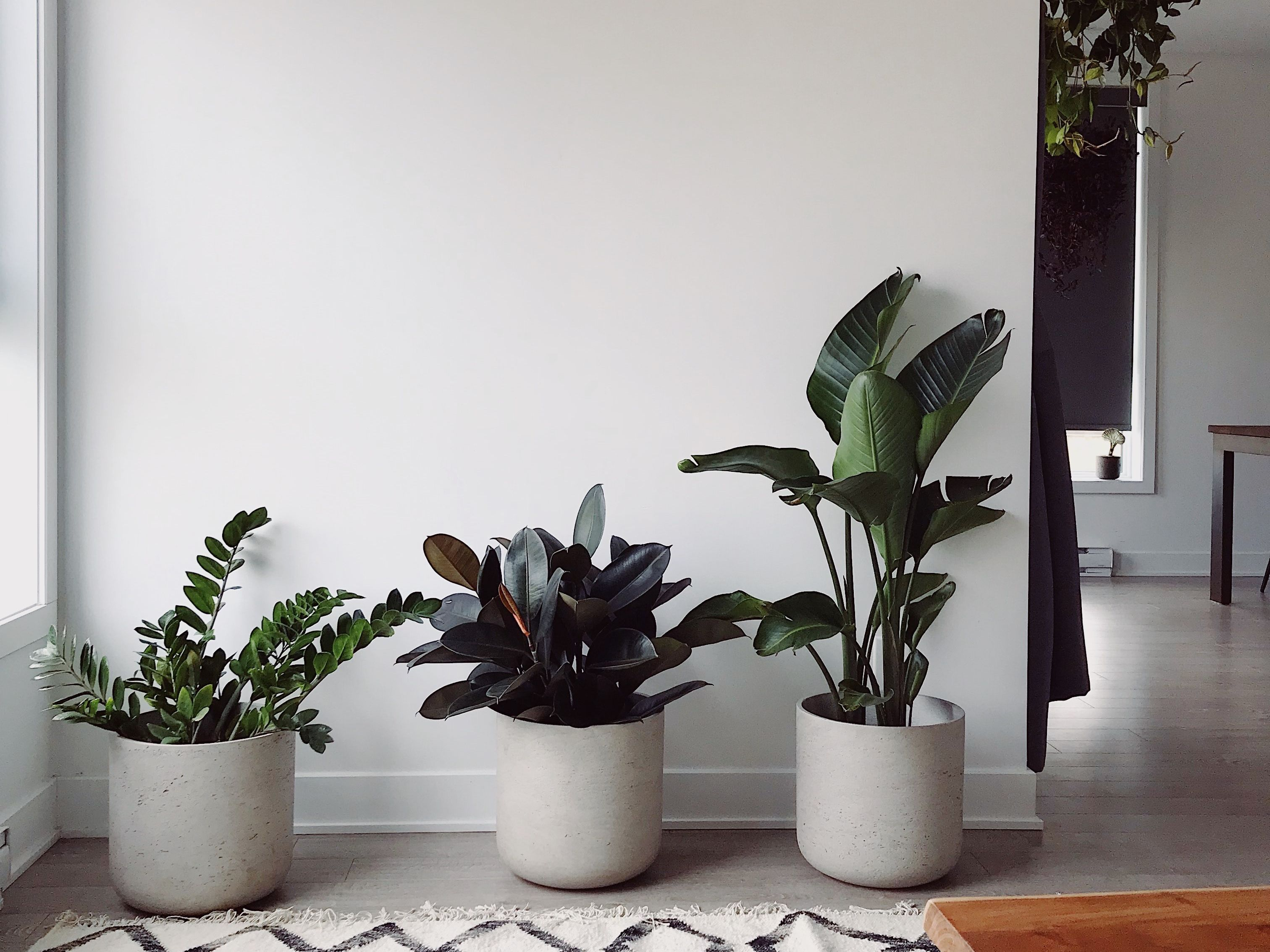 Sansevieria Plant Feng Shui air-purifying plants according to feng shui