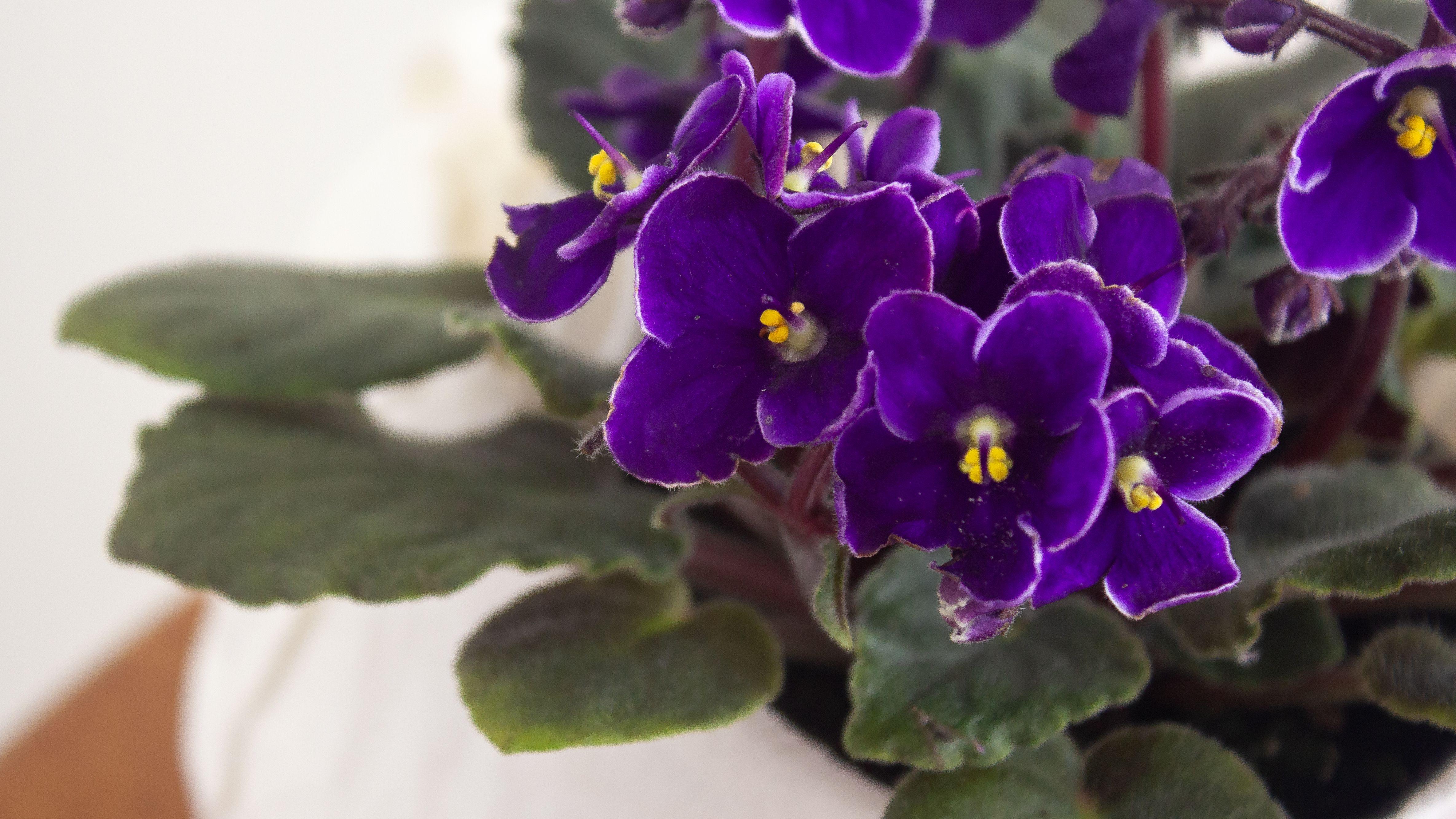 African Violets —Growing Healthy Saintpaulia