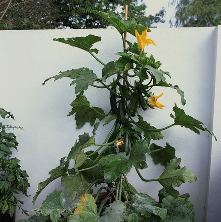 Grow Climbing Zucchini Black Forest In A Small Space