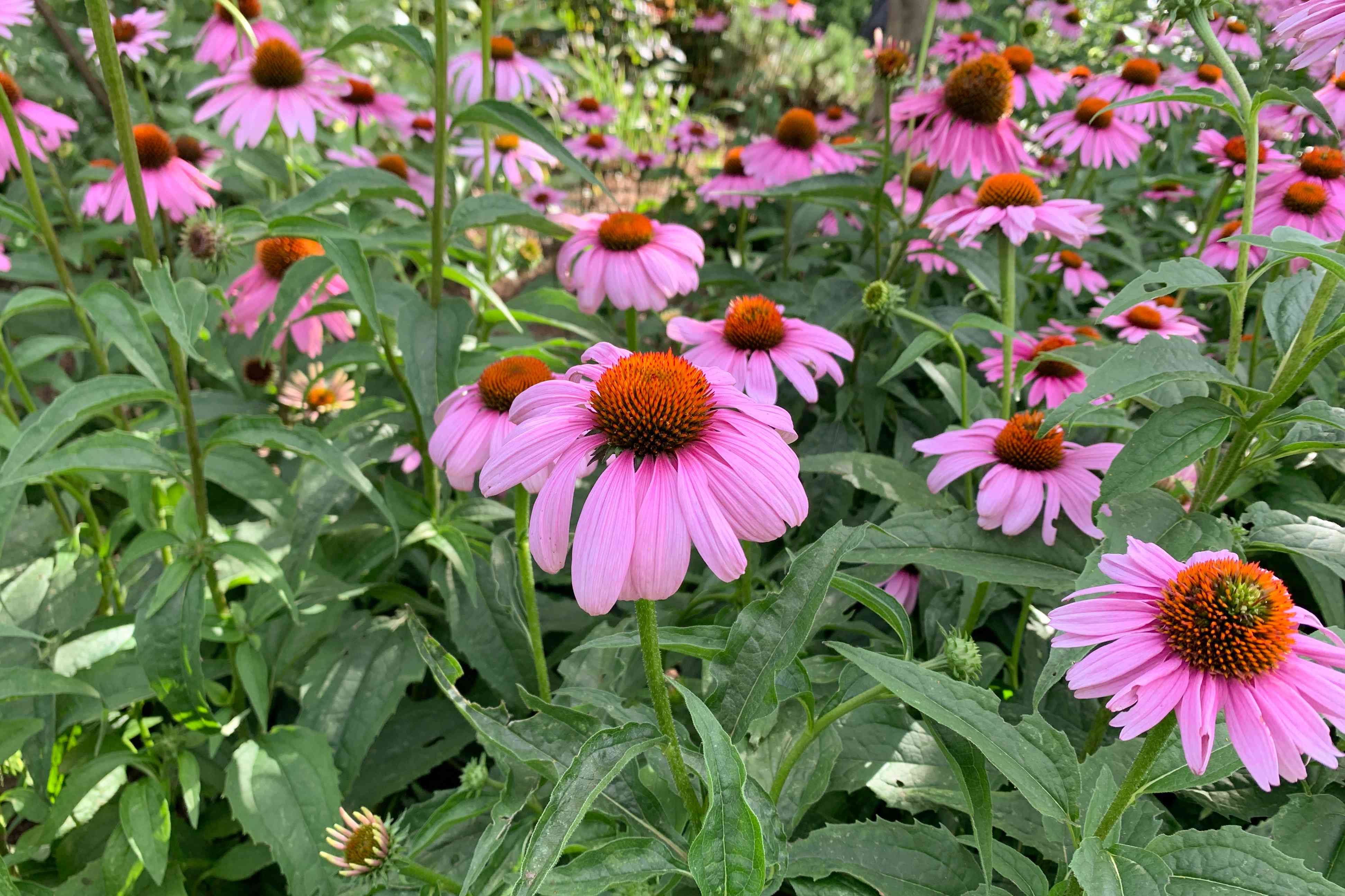 Coneflower plants with pink flowers and orange centers in garden