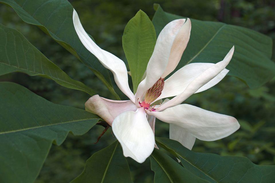 Bigleaf magnolia flower