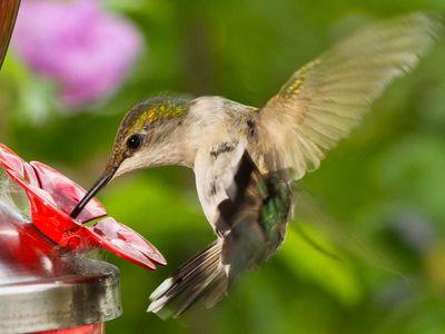 Female Ruby-throated Hummingbird At Feeder