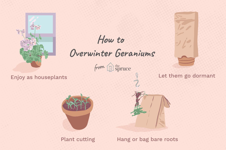 overwintering geraniums illustration